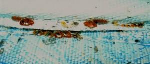closeup of bedbugs in a bed mattress