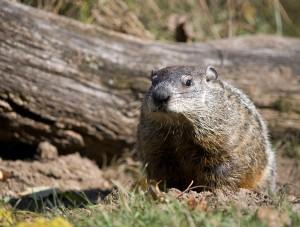 closeup of groundhog digging a hole in backyard