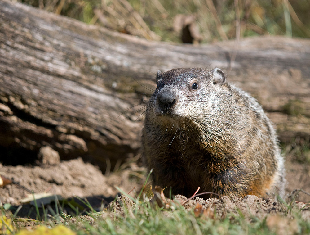 Lehigh Valley Pest Control ground-hog