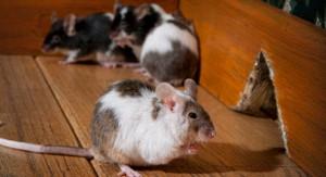 closeup of large rats invading house